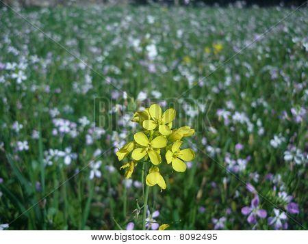 yellow among white