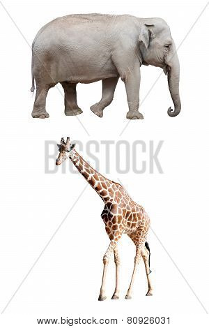 An Asian Elephant and a Giraffe Isolated