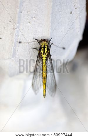 Yellow Beautiful Dragonfly