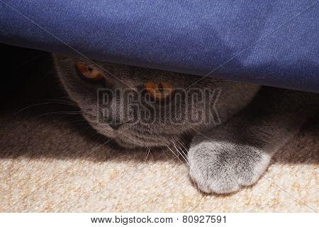 Hunting Gray British Cat