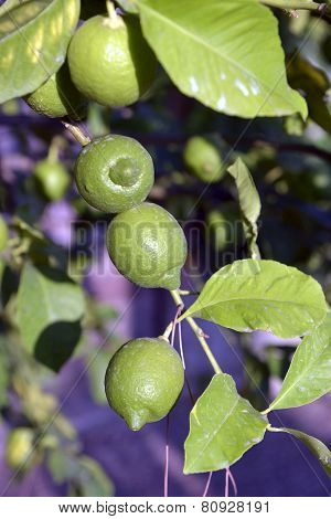 Ripe Lime On A Tree Branch
