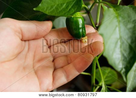 Hand With Green Chili Pepper, Home Harvest