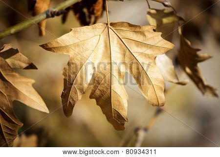Sycamore Leaf On Tree