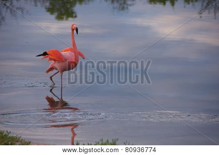 Galapagos Flamingo in Santa Cruz Islands