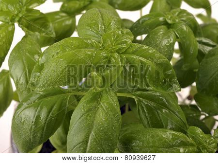 Basil With Water Drops