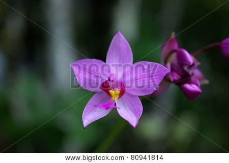 Orchid in Costa Rica