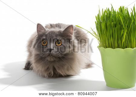Persian Kitten Sits Near Grass