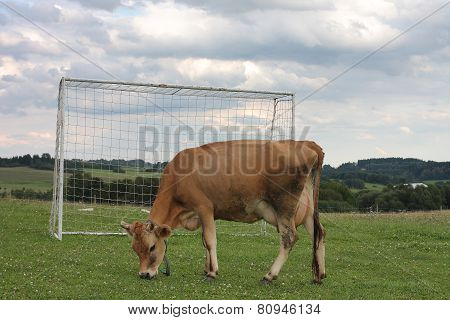 Cow Grazing On A Summer Pasture Between Football Goal