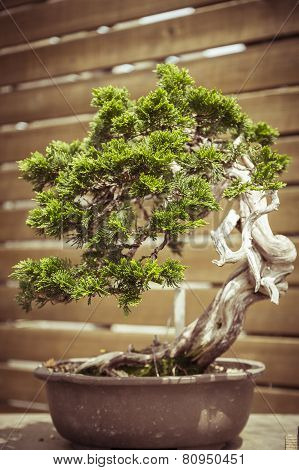 Close Up Of An Old Bonsai Tree In A  Flower Pot