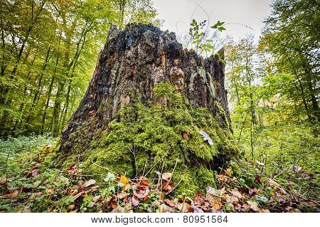 Tree Stump In An Autumn Forest Overgrown With Moss
