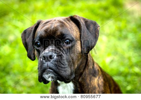 Portrait of female boxer dog