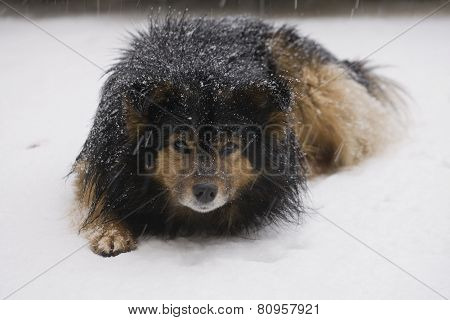 Cautiously Looking Dog Lying In The Snow In The Snow.