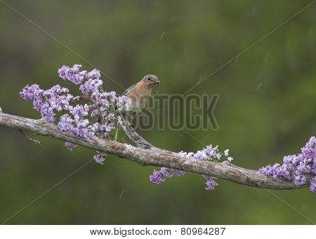 Female Bluebird perched in lilacs