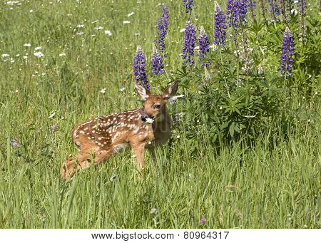 Spotted fawn in purple wildflowers