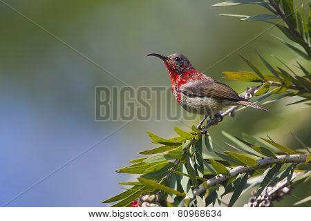crimson sunbird (Aethopyga siparaja) at Bardia, Nepal