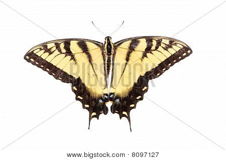 Isolated Tiger Swallowtail Butterfly