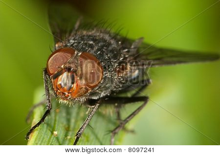 Blowfly ( Sarcophaga Carnaria )
