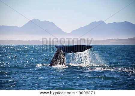 Whale in Kaikoura New Zealand