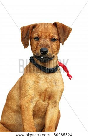 Cute Puppy Standing Over White Background
