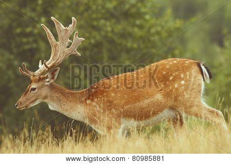 Fallow Deer Passing A Glade