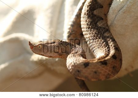 Sand Viper In Leather Glove