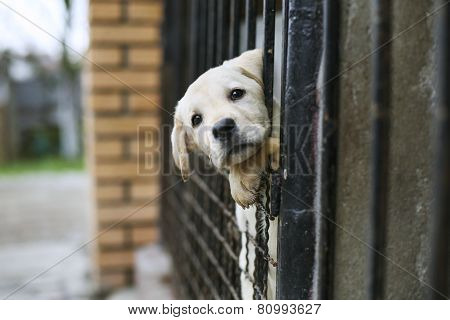 Baby Pappy White Labrador In Cage