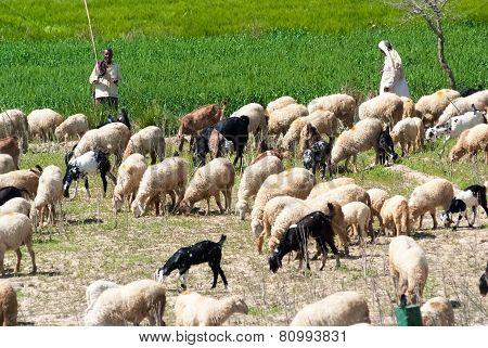 Tending A Herd In India