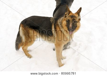Shepherd Dog Standing Near The Master's Legs In Winter On The Snow
