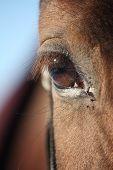 stock photo of chestnut horse  - Beautiful brown chestnut horse eye close up - JPG