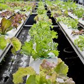 stock photo of hydroponics  - Organic hydroponic vegetable cultivation farm  - JPG