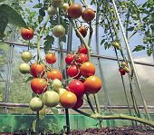 foto of greenhouse  - Red and green tomatoes ripening on the bush in a greenhouse of transparent polycarbonate - JPG