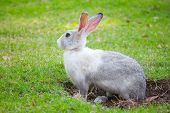 picture of rabbit hole  - Gray and white rabbit sitting on green grass and digs a hole - JPG