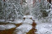 foto of snow forest  - The photo shows pine forest in winter - JPG