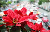 picture of poinsettias  - Poinsettia blooms giving warmth to traffic jam - JPG