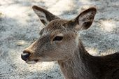 stock photo of deer head  - a close - JPG