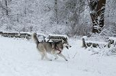 picture of husky sled dog breeds  - Siberian Husky winter - JPG