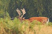 image of buck  - majestic fallow deer buck  - JPG