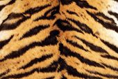picture of tigress  - tiger beautiful texture of real fur wild cat pelt - JPG