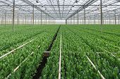 pic of horticulture  - Large glasshouse horticultural industry with nearly flowering Lisianthus plants for the cultivation of cut flowers - JPG