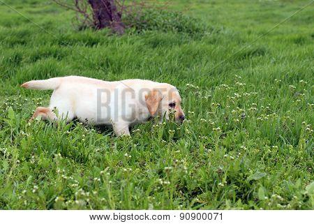 Yellow Labrador Puppy Running In Green Grass