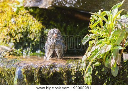 House sparrow bath