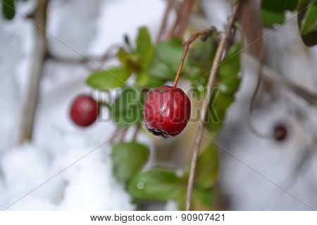 hawthorn fruit in the winter