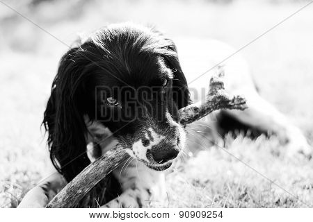 Playful Springer Spaniel Pet Dog