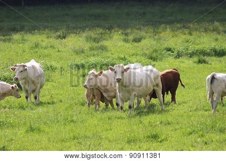 Group Of Cows On Green Meadow