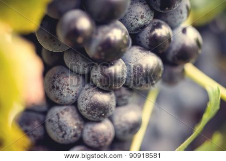 Grape macro in wineyard