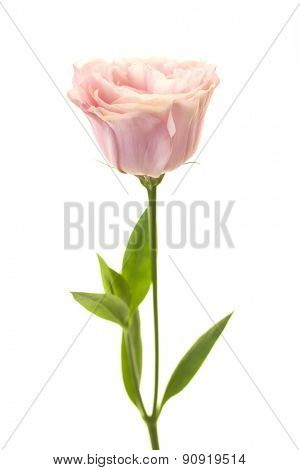 Pure romantic pink rose with leaves isolated on white