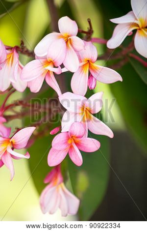 Background of tropical flower,  pink frangipani