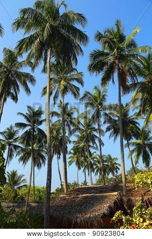 tropical hut under tall coconut palms
