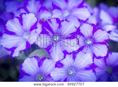 Purple Light Blue And White Flowers Closeup