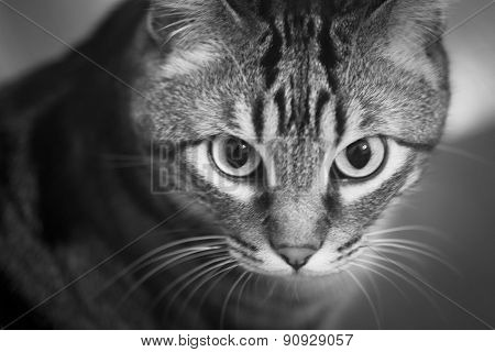 Tabby Cat Portrait Sitting Looking Black And White